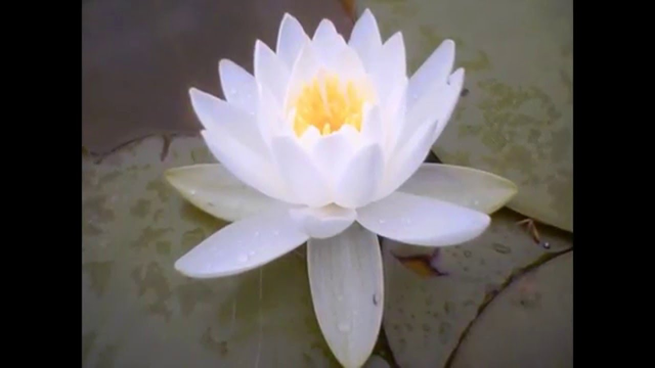 Meaning And Significance Of Lotus Sutra Youtube