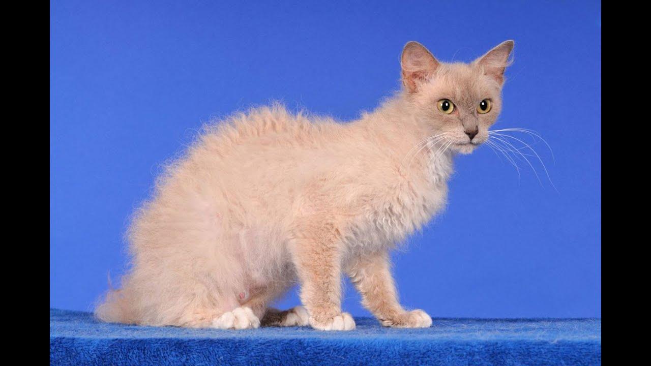 кошки породы лаперм фото