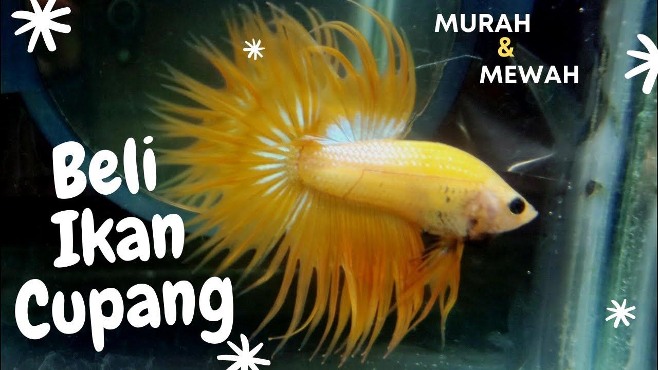 Beli Ikan Cupang Serit Yellow Crowntail Murah Mewah Youtube