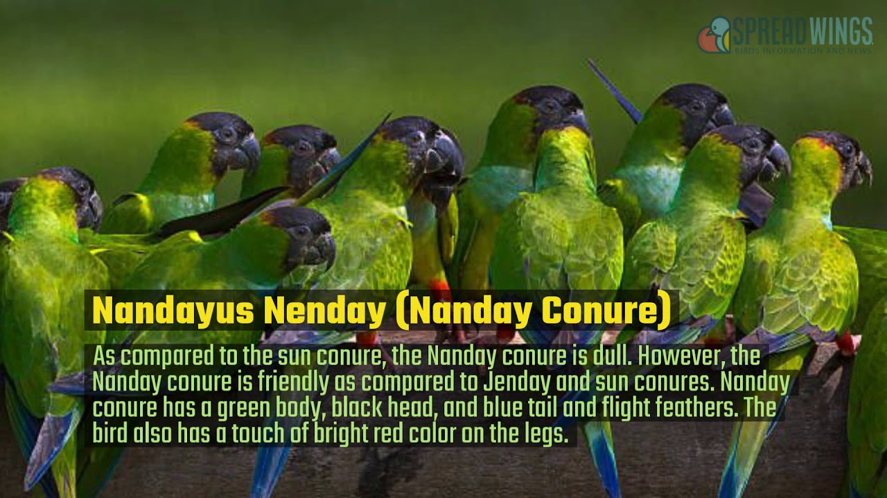 The Best Types Of Conures To Have As Pets | BIRD | spreadwings