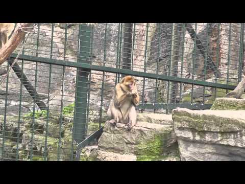 Feeding barbary ape