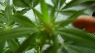 Cannabis holocaust