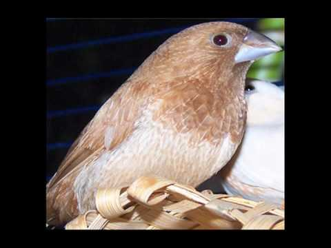 Bengalese finch song