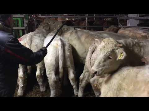 Charolaise feeding cattle in Eurasia farm.