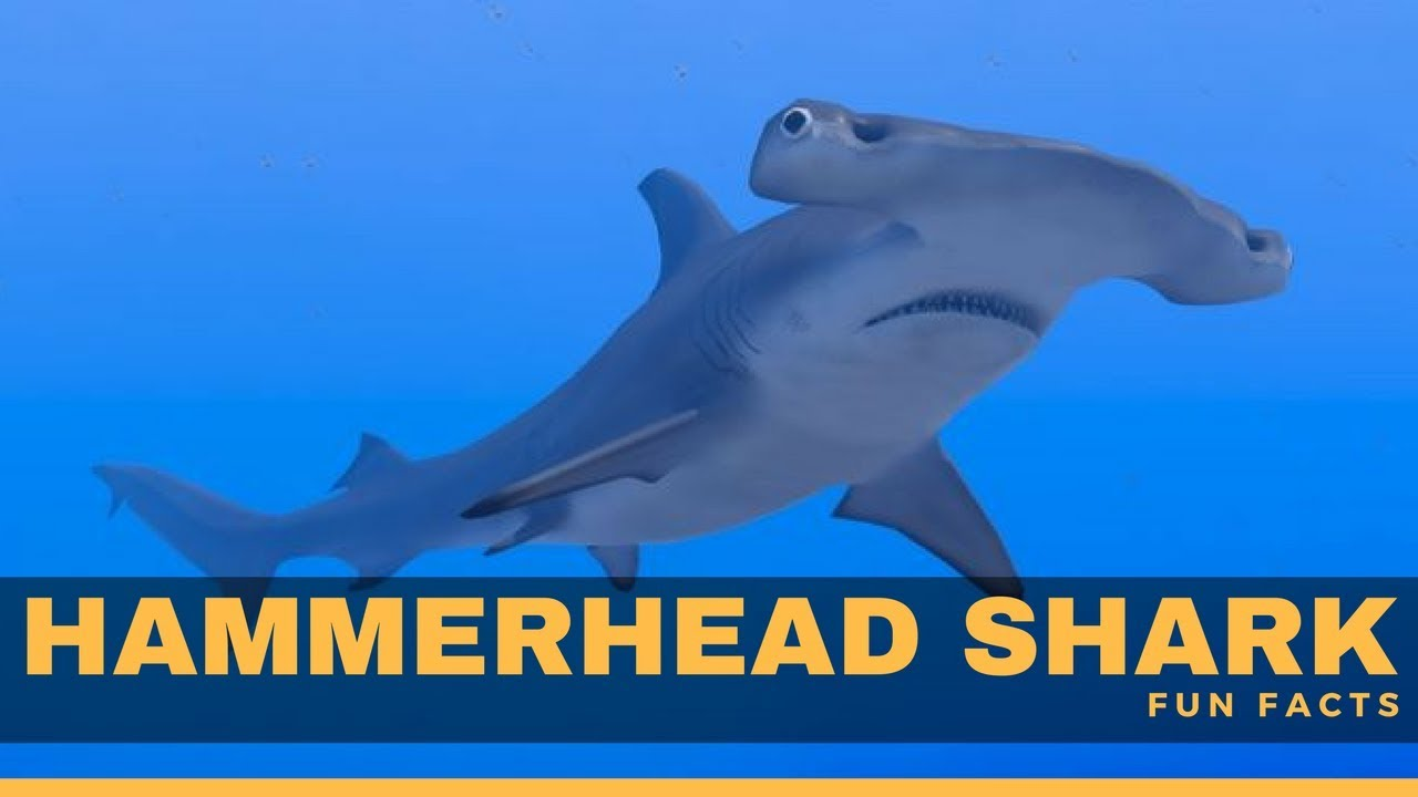 Hammerhead Sharks Facts For Kids | Kids Matttroy