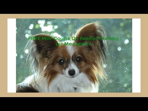 **How To Housetrain Your Papillon** Free Mini-Course On Papillon Training :) :)