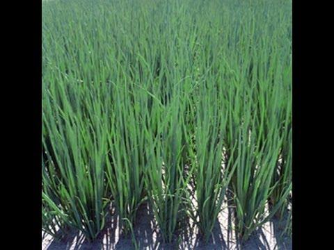 Выращивание лука на перо семенами