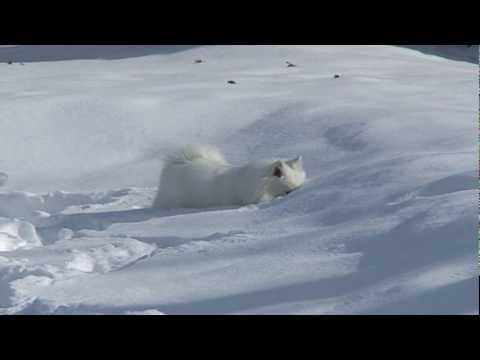 American Eskimos in the snow