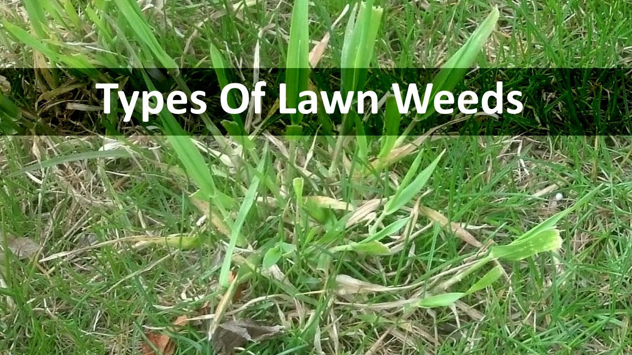 Types of lawn grass weeds - Types Of Lawn Grass Weeds 17