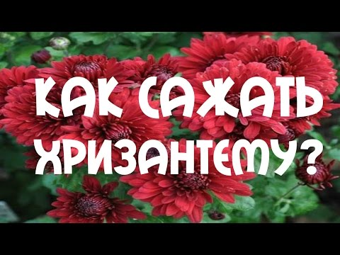 #Хризантема. Способ посадки хризантемы осенью