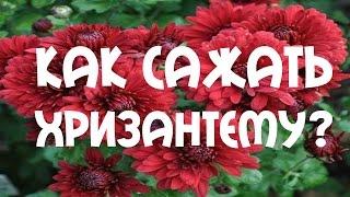 Хризантема. Посадка хризантемы осенью(Хризантема. Посадка хризантемы осенью., 2015-10-24T06:36:49.000Z)