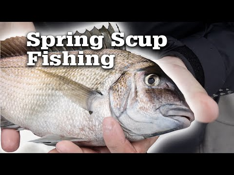 Spring Time Scup (Porgy) Fishing on Nantucket Sound
