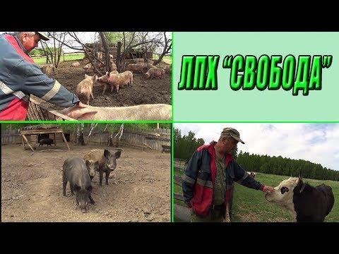 Необычная ферма Александра/ Грозные быки / Деревенская жизнь