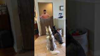 Huskies FREAK OUT After Owner VANISHES! (PART 2) #shorts