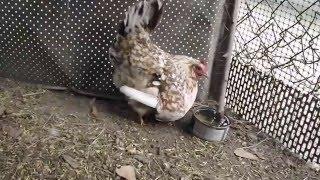 Kwoka z kurczętami