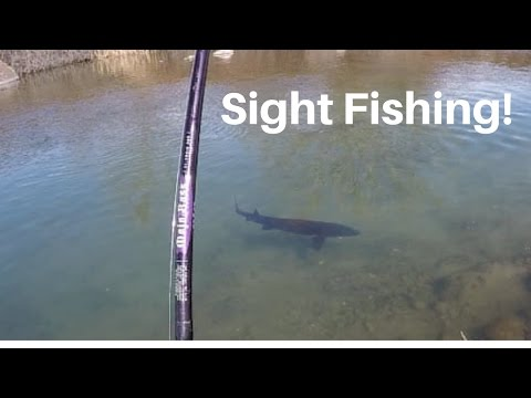 Sight Fishing for Sturgeon in a Creek! (2017)