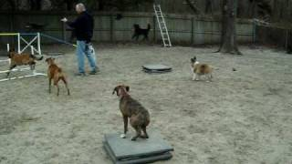 Monkeybubbles- Boxer Puppy Off Leash Around Distraction Www.thedogtrainingcompany.com