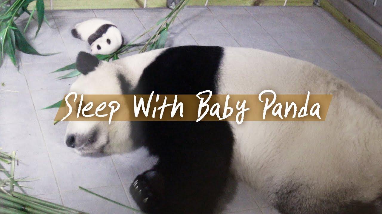 [판다스틱베베] 판다모녀 30분 잠방 보며 같이 자요! 수면유도, 스트레스 해소 | 에버랜드 판다월드 (Baby Panda)