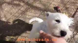 Alborada Blaspi, un cachorro westy muy cariñoso