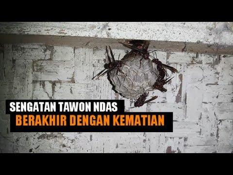 Wajib Tau ! Sengatan Tawon Ndas Bisa BerUjung Dengan Kematian