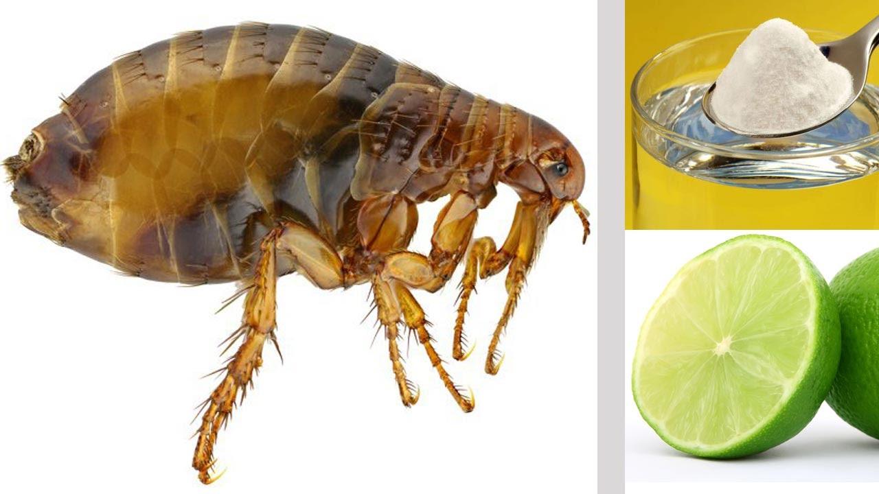 Picaduras de pulgas que es bueno para las picaduras de - Como se quita el gotele ...