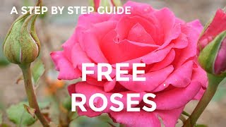 How To Grow Roses From Cuttings (EASY and FREE rose plants) 2019