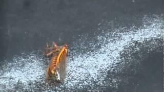 Magicicada The 17 Year Periodical Cicada