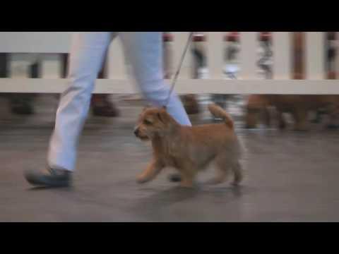 Paignton Dog Show 2016 - Best Puppy in Show