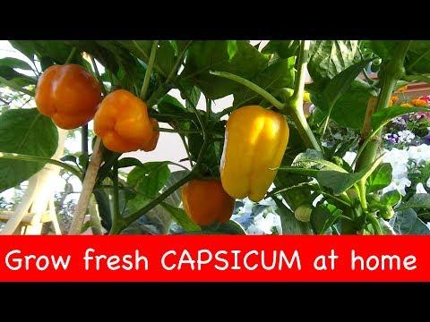 Capsicum plantation in plastic bag (with english subtitle)