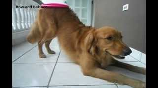 Golden Retriever, Goldeny, Performing Amazing Dog Tricks!!!