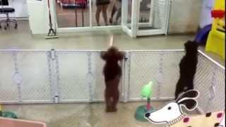 Latin dansı yapan köpek   LilTV