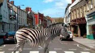 Watch Scooter Zebras Crossing The Street video