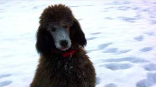 Winston In The Snow - Standard Poodle - Hv30 Hauge Mmc Test