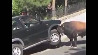 Шок! Злой бык пытается перевернуть джип!