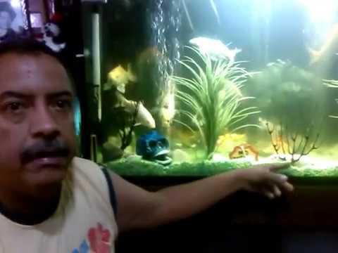 Koi visita a un criadero doovi for Carpas koi cuidados