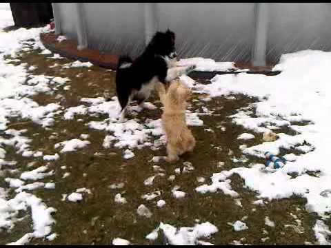 Australian Shepherd And Cairn Terrier Playing