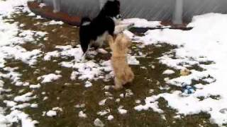 Australian Shepherd And Cairn Terrier Playing