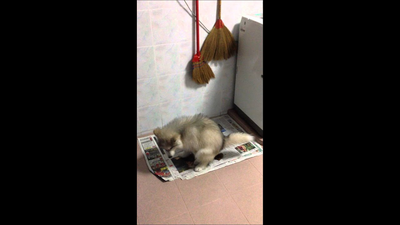 how to train a siberian husky puppy to potty