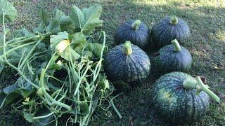 Chia sẻ hai cách trồng bí đỏ và thu hoạch bí