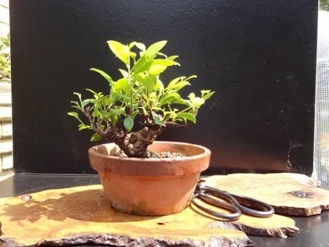 the care of ginseng ficus bonsai plants youtube. Black Bedroom Furniture Sets. Home Design Ideas