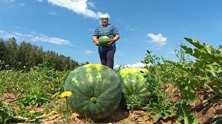 Лукашенко убирает урожай бахчевых