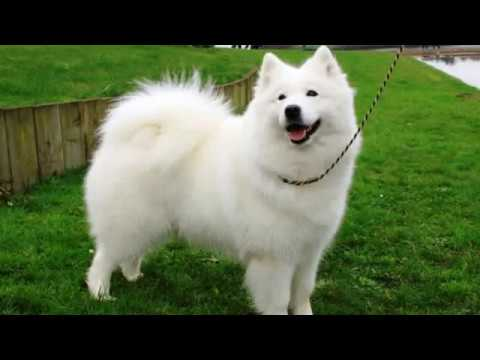 Giant Spitz - medium size dog breed
