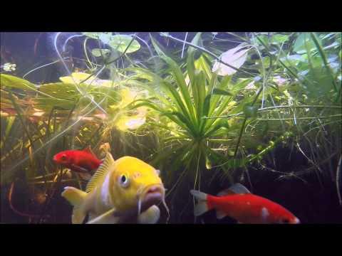 Repeat Shubunkin sarasa Comet yellow Goldfish blackwater