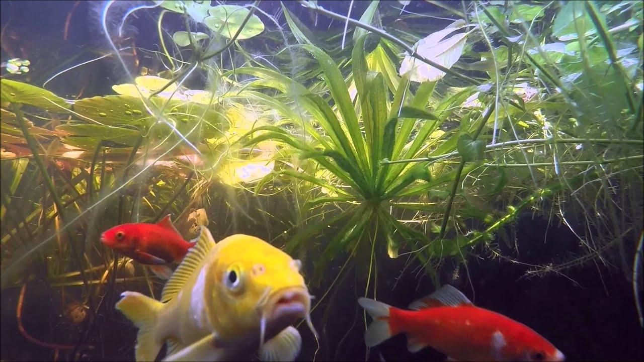 Gartenteich unterwasser mit koi und shubunkin goldfischen for Teichfische shubunkin