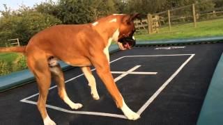 Puppy Boxer Dog Alfie On Trampoline