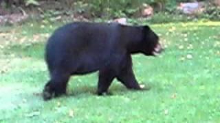 Black bear in Simsbury CT