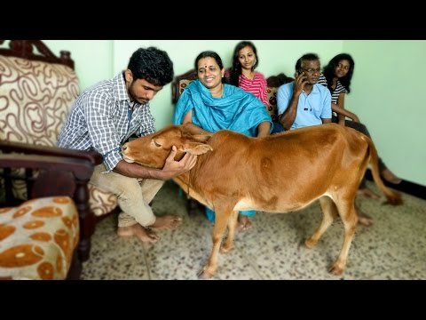 Guinness World Record: The World's Shortest Cow
