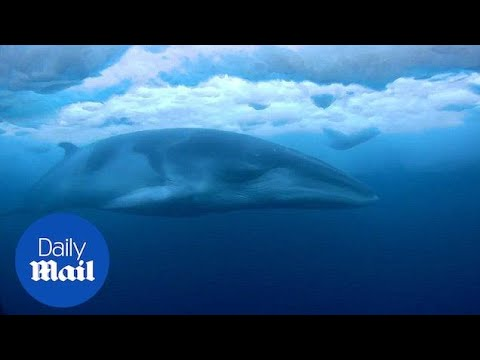 Amazing footage of Minke Whale in the ice-covered Ross Sea - Daily Mail