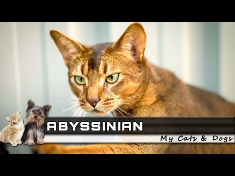 🐈 ABYSSINIAN Cat Breed - Overview, Facts, Traits and Price