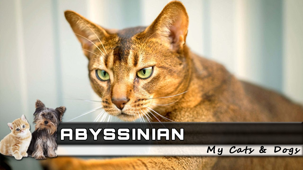 ? ABYSSINIAN Cat Breed - Overview, Facts, Traits and Price - YouTube